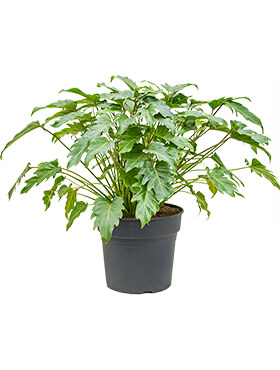 Philodendron xanadu bush