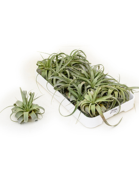 Tillandsia xerographica 10/box airplant