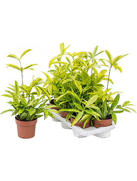 Dracaena surculosa mike 7/tray bush