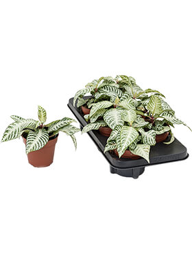 Aphelandra white wash 6/tray