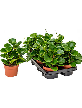 Peperomia green gold 6/tray