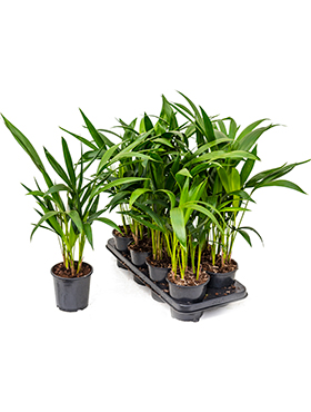 Kentia (howea) forsteriana 8/tray 6pp