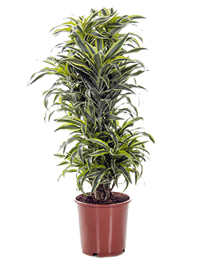 Dracaena surprise branched multi