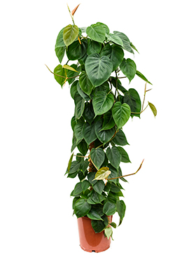 Philodendron scandens on moss-pole 120