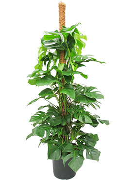 Philodendron pertusem (monstera) on moss-pole 200