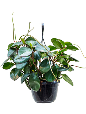 Peperomia clusifolia red margin hanger