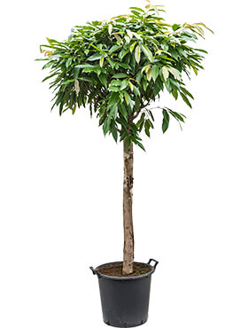 Ficus amstel king stem