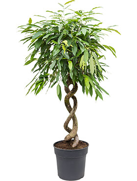 Ficus amstel king double spiral