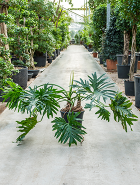 Philodendron selloum bush