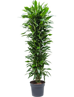 Dracaena janet lind branched