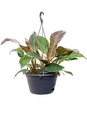 Philodendron imperial red hanger