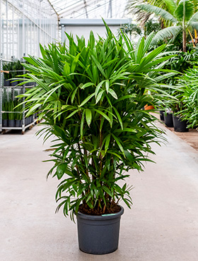 Rhapis excelsa (160-180) bush