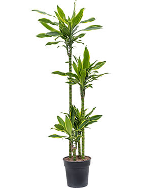 Dracaena golden coast 90-60-30-15