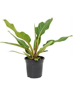 Philodendron fatboy