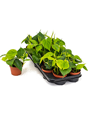 Philodendron scandens 9/tray hanger