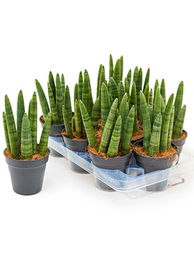 Sansevieria tower 9/tray tuft