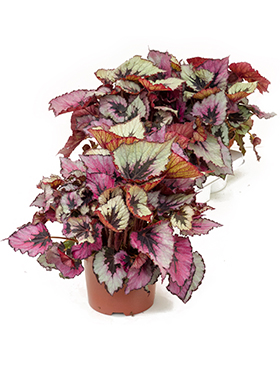 Begonia rex titica 3/tray