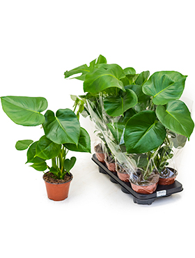 Philodendron pertusem (monstera) 8/tray