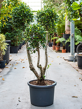 Ficus nitida compacta branched/multi crowns