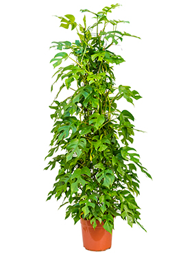 Philodendron minima on moss-pole 80
