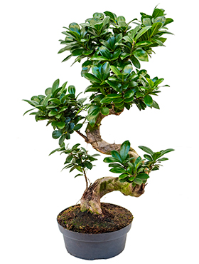 Ficus microcarpa ginseng s-stam