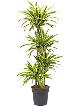 Dracaena lemon lime 90-60-30-15