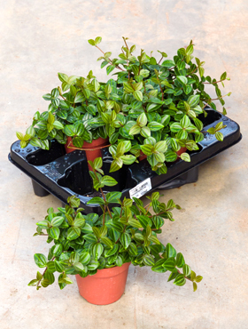 Peperomia angulata rocca verde 6/tray light green