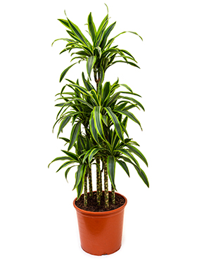 Dracaena lemon lime carrousel (6pp)