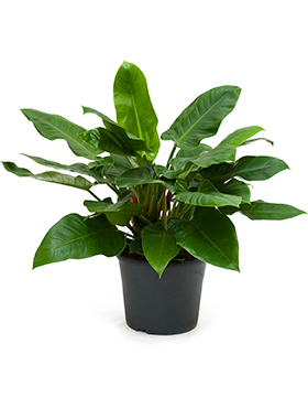 Philodendron imperial green bush