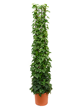 Hedera montgommery column