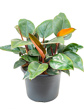 Philodendron red congo bush