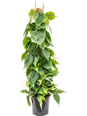 Philodendron scandens brasil on moss-pole