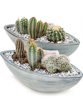 Arrangement cacti 2/tray planted dish with cactus