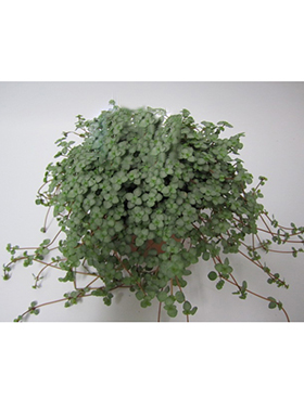 Pillea glauca 8/tray