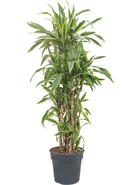 Dracaena lemon lime branched-multi