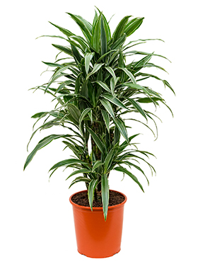 Dracaena deremensis branched-multi