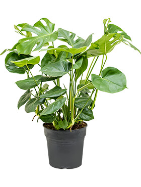 Philodendron pertusem (monstera) tuft