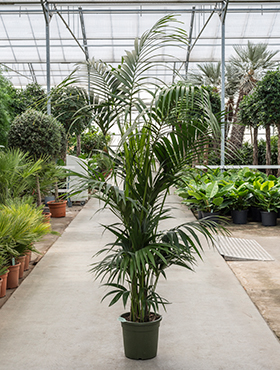 Kentia (howea) forsteriana bush extra 7/8pp
