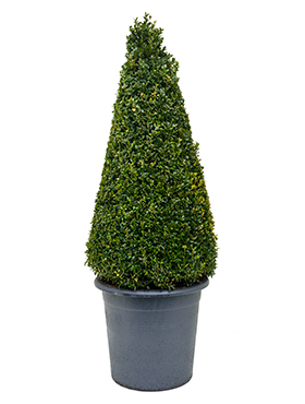 Buxus sempervirens pyramid (90+)