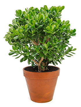 Crassula ovata bush