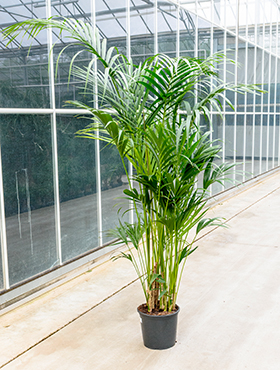 Kentia (howea) fosteriana 12pp