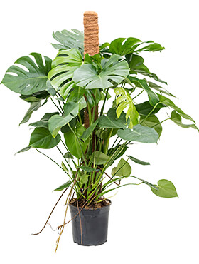 Philodendron pertusem (monstera) on moss-pole 120