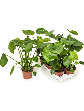 Philodendron pertusem (monstera) 6/tray