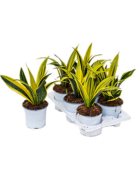 Sansevieria gold flame 6/tray