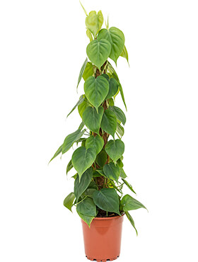 Philodendron scandens on moss-pole 80
