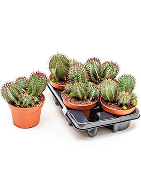 Euphorbia horrida 4/tray