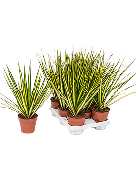 Dracaena marginata sunray 8/tray head