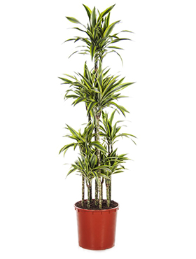 Dracaena lemon lime carrousel (8pp)