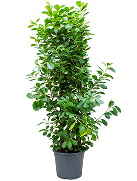 Ficus moclame tuft