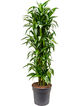 Dracaena janet craig branched-multi